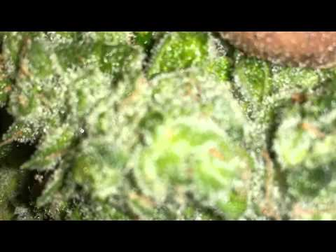 How to Grow Part 7, Harvesting/Drying/Curing