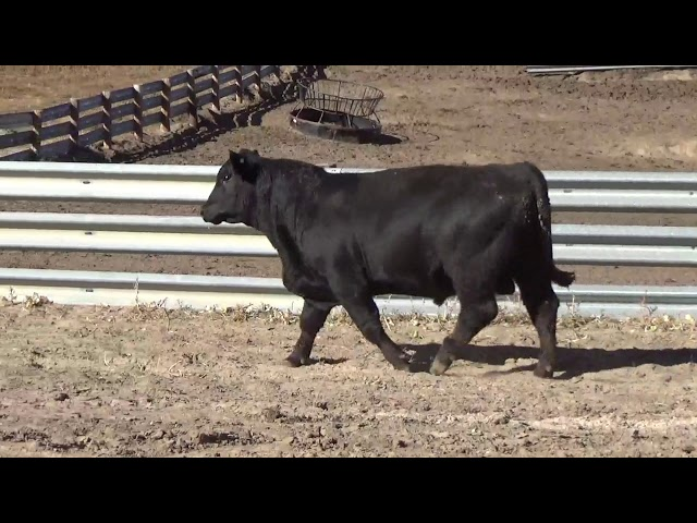 Connealy Angus Lot 124