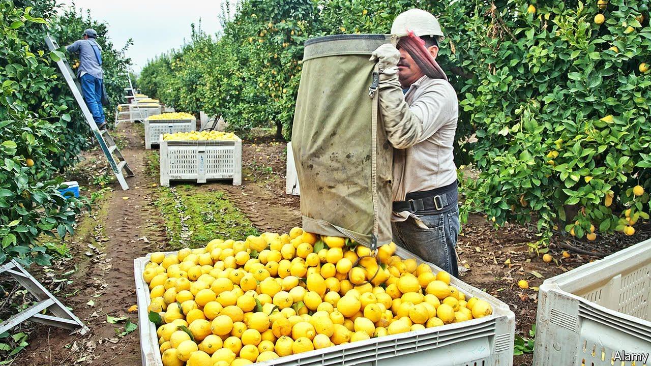 How to Harvest Lemon ? - Lemon Farming & Harvesting - Lemon Picking & Lemon  Juice Processing - YouTube