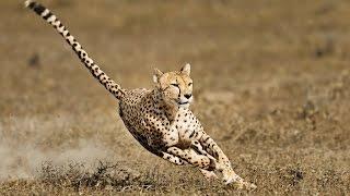 Hızlı Katil Kediler : Öldürmeye Programlananlar - Hayvanlar Alemi Belgeseli izle