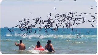 Swarm of Birds Dive into Water | Mine, MINE