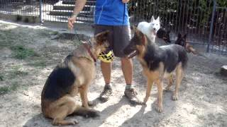 The Canine Classroom Dog Training - Banjo, Direct Interaction With Dogs In Play Yard