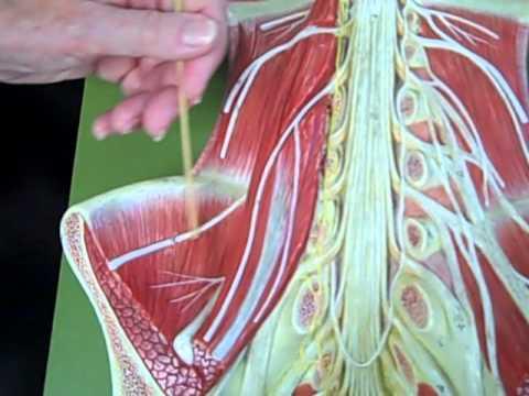 Dr. Giggleman explains Anatomy Nerves of the lumbosacral plexus