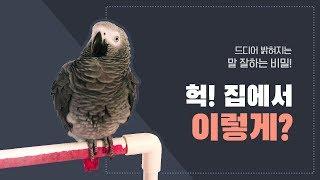 [연구대상똘이] Talking gray parrot  말 잘하는 이유?