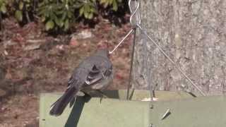 Mockingbird Drives Other Birds Away from Feeder--NARRATED
