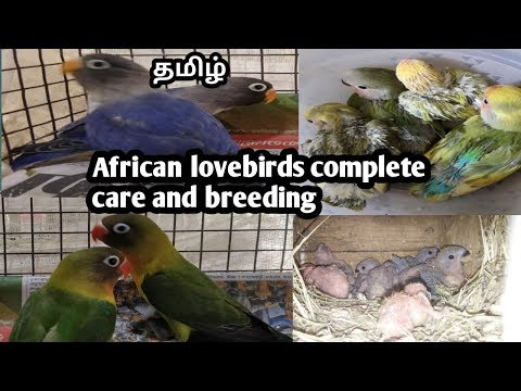 African love birds care and breeding tips in tamil