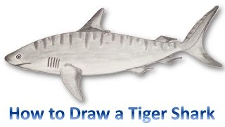 How to Draw a Tiger Shark