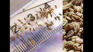 АДЖВАН или дикорастущий сельдерей - натуральное средство для здоровья!