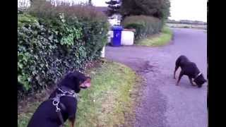 Socialized Rottweiler Vs Rottweiler And German Shepherd After The Fence Part2