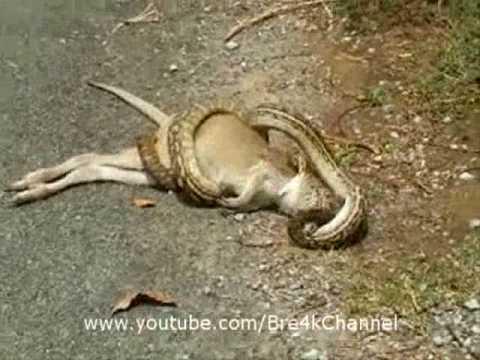 Snake (Python) Eats Kangaroo