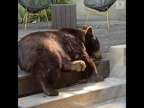 Bear cools down in family's backyard | ABC News