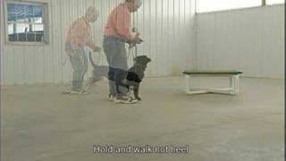 Teaching Hold For Force Fetch - Retriever Training Basics