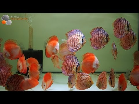 Red Melon Discus And Ring Leopard Discus