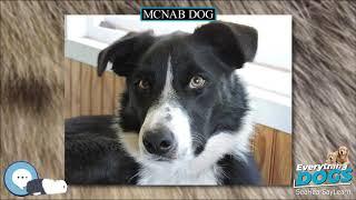 McNab dog  Everything Dog Breeds