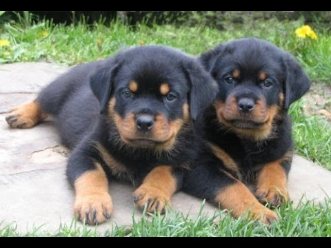 Rottwieler Puppies For Sale In Memphis Tennessee Tn 19breeders Clarksville Chattanooga Youtube