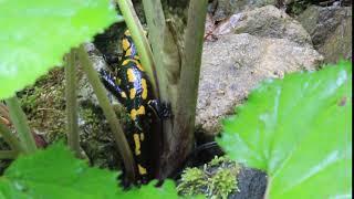 Colorful lizard salamander in Devil's canyon Suceava romania - MVI 9207
