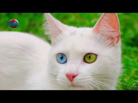 Вопрос: В какой стране живут плавающие коты?