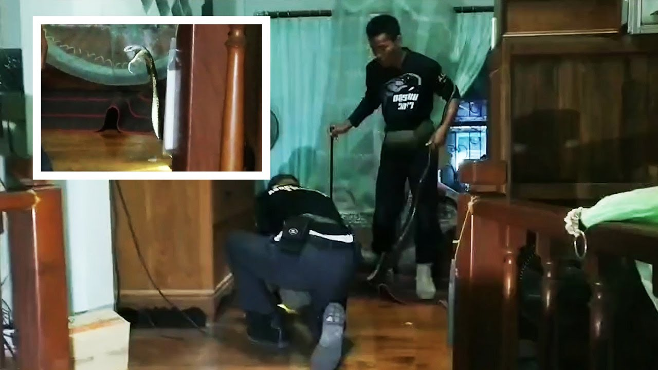 Βασιλική κόμπρα τρύπωσε σε κρεβατοκάμαρα: Μάχη με τους φιδο‑κυνηγούς  (video)   E-Daily.gr