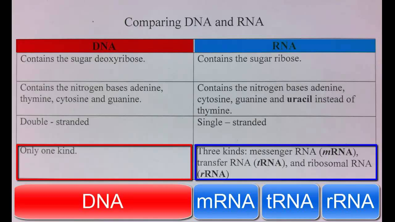 a comparison of the similarities and differences between dna and rna Tion of the larvae for nucleic acid assay was similar to that described in munro   was no significant difference in either rna or dna measurement between the 2.