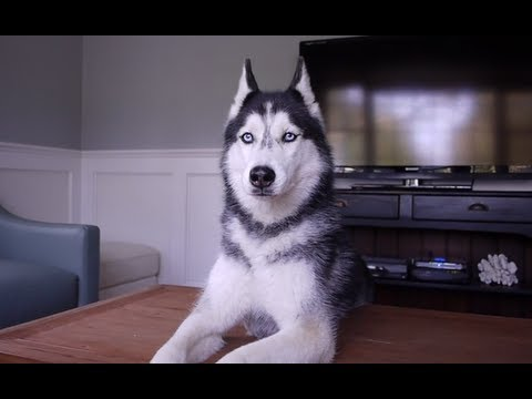 Conversation with a Talking Siberian Husky Named Mishka!