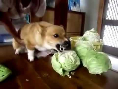 Mad Dog Eating Cabbage