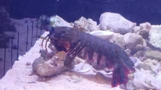 Mantis shrimp vs crab in deadly fight!