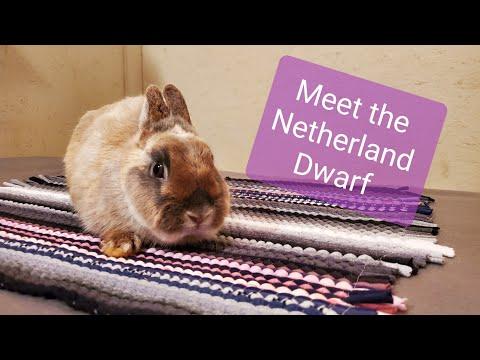 Meet The Netherland Dwarf Rabbit