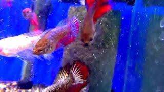 Аквариумные рыбки - Петушки. Аквариумистика
