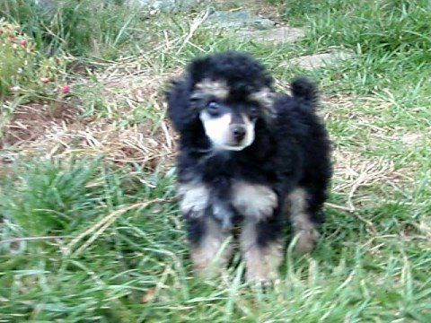 Phantom Toy Poodle Puppy Youtube