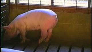 When Pigs Cry -- pig factory farms in the US