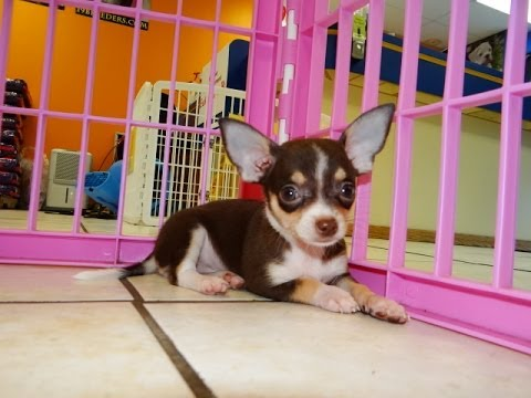 Chihuahua Puppies Dogs For Sale In Albany County Georgia Ga