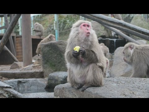 Monkeys at Japan zoo greet cold winter with annual bonfire