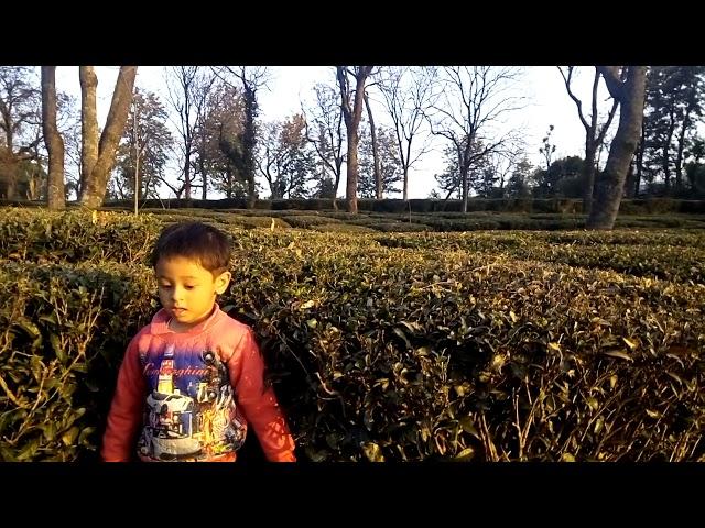 Beautiful Tea Gardens at Palampur - Palampur city famous for tea gardens