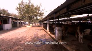 Measuring milk at a dairy farm in India