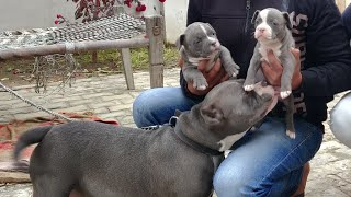 American Bully Puppy for Sale  | About American Bully | Extreme  Dog's 9053119992 | Doggyz World
