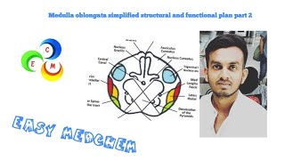 Medulla oblongata simplified structural and functional plan part 2