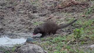 Djuma: Dwarf Mongoose all going about the morning- 08:10 - 05/…