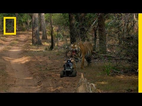 Robot vs. Tiger | Nat Geo Live
