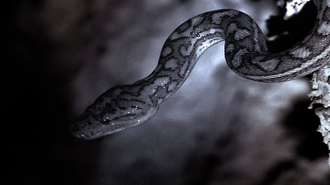 snakes hunt bats in a cave planet earth bbc earth