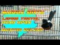 Murai Batu Lepas Trotol Bongkar Isian Ring Apbn  Mp3 - Mp4 Download
