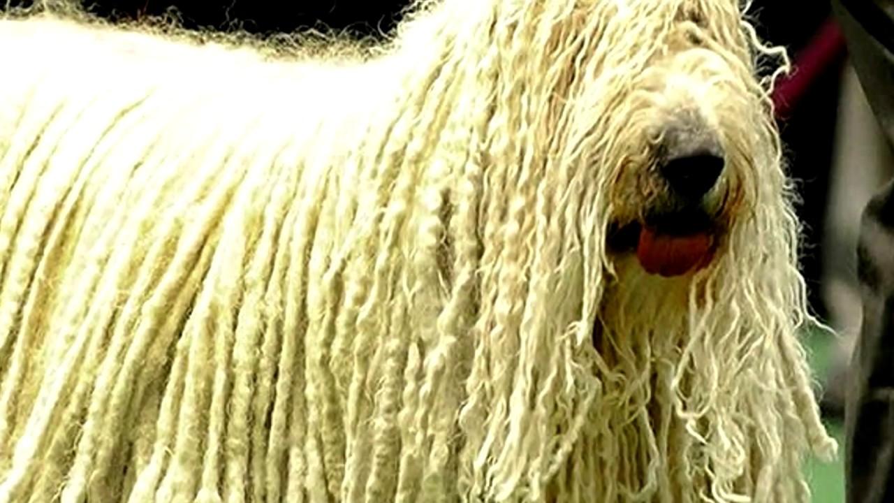 Порода собак.ПУЛИ. Древнейшая порода собак из Венгрии. Необычная внешность