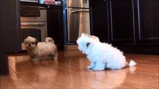 Video Shih Tzu puppies for sale February 21, 2014 download MP3, 3GP, MP4, WEBM, AVI, FLV September 2018