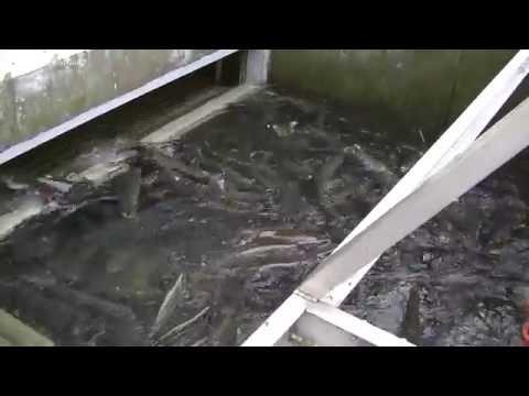Nimbus Fish Hatchery Salmon Fall Run
