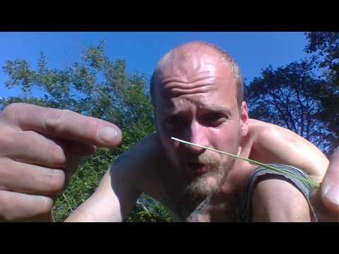 The silent revolution - Wild edible grasses (Vilda ätbara grässorter, Poaceae or Gramineae)
