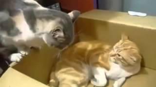Коты дерутся за территорию