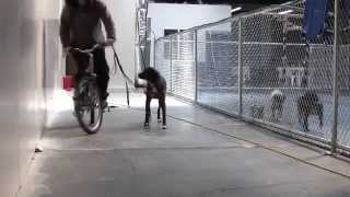 Dog Obedience Training, Java Working Through Her Fear Of Bikes