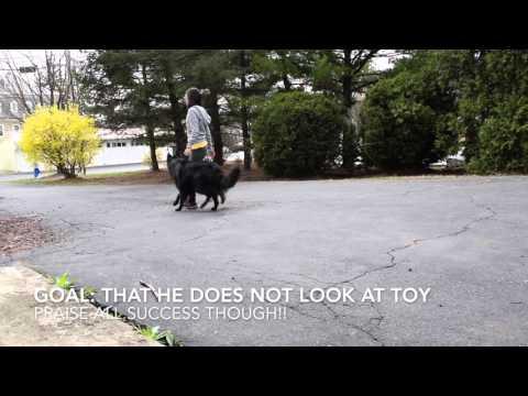 Belgian Shepherd Groenendael - Tricks/Training