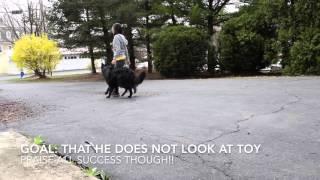 Belgian Shepherd Groenendael  Tricks/Training