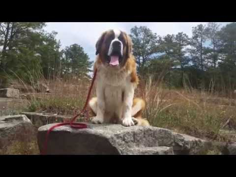 "6 Month Old St Bernard ""Dallas"" Before/After Video 