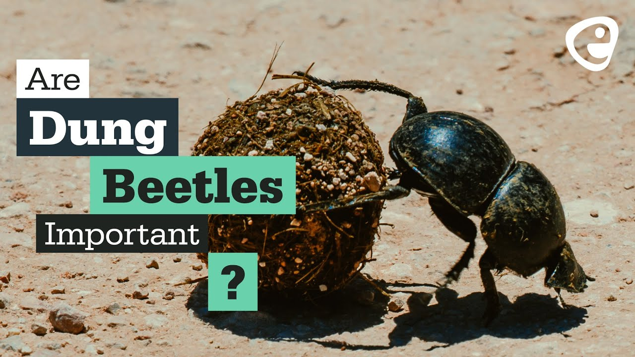 Are dung beetles important?